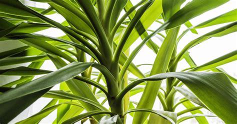 garten yucca schneiden yuccapalme riesen palmlilie yucca elephantipes pflanzen