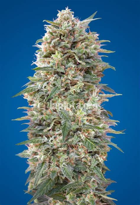 sorten bank california kush 00 seeds bank seedfinder
