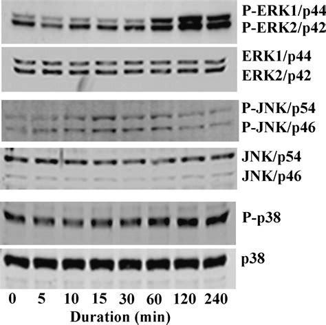thombospondin 1 disrupts estrogen induced endothelial cell