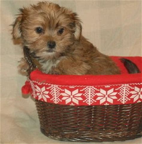 how much are yorkie poos worth morkie shitzu