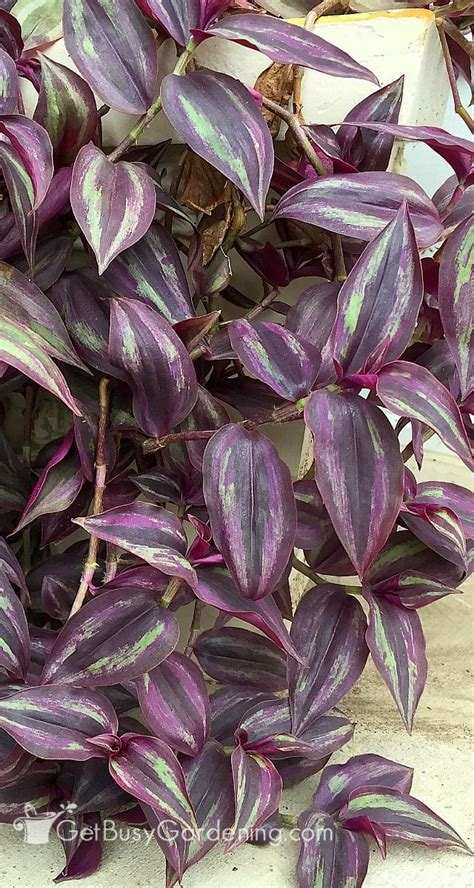 difficult plants to grow 1000 ideas about wandering jew on pinterest tall