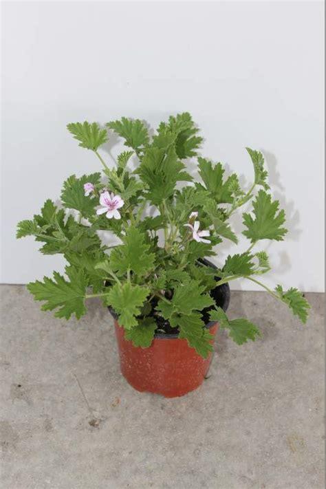 Impressionnant Plante Anti Moustique Jardin #7: IMG_4760.JPG