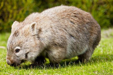 imagenes de animal wombat le wombat d australie tour du blogtour du blog