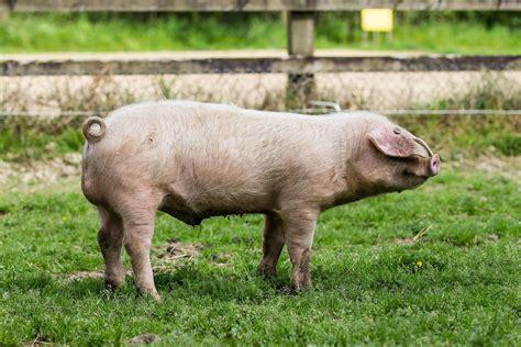 porc blanc de l ouest wikip 233 dia