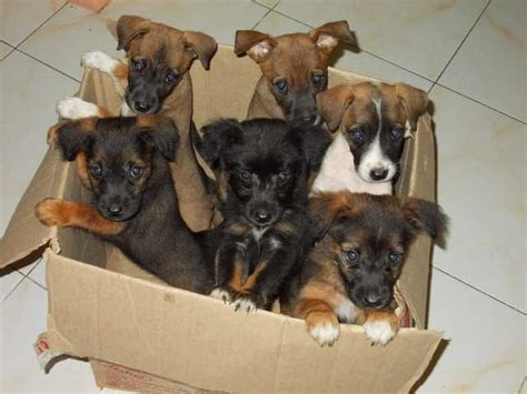 low price puppies mixed breed puppies at low price for sale adoption from