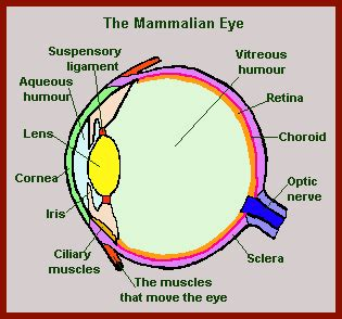 diagram of mammalian honors biology learning and families high school co op
