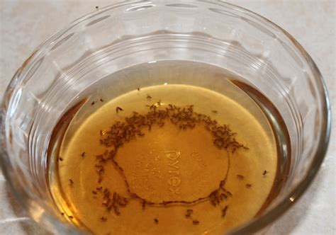 using vinegar to get rid of fruit flies pest