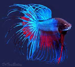 Betta Fish In Vase With Plant Perciformes Siamese Fighting Fish