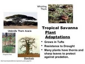 Tropical Grassland Plants List - powerpoint biomes