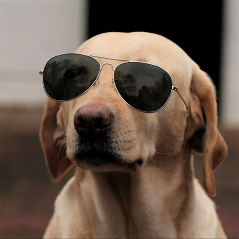 puppy sunglasses pictures of dogs breeders guide
