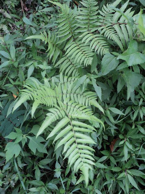 penelitian tumbuhan paku hafidhexza