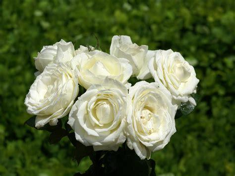 imagenes hermosas rosas rosas hermosas fotos rosas m 225 s bellas fondos de pantalla