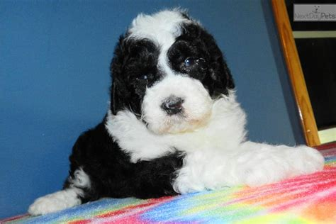 shepadoodle puppies for sale sheepadoodle puppies for sale in myideasbedroom
