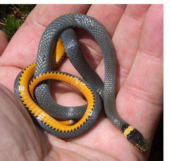black snake with orange ring around neck snakes black snake white ring around neck orange