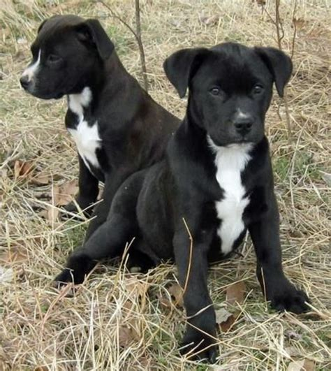 black lab pit mix puppy american bulldog lab mix temperament adoption cowboys and sweet