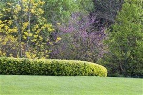 il giardino oltre la siepe come scegliere la siepe