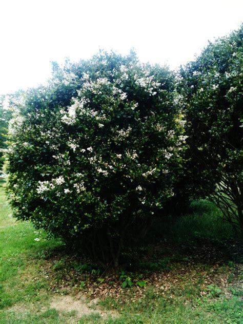 fast growing evergreen japanese privet landscaping pinterest fast growing evergreens