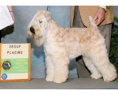 Soft Fl soft wheaten terrier breeders florida goldenacresdogs