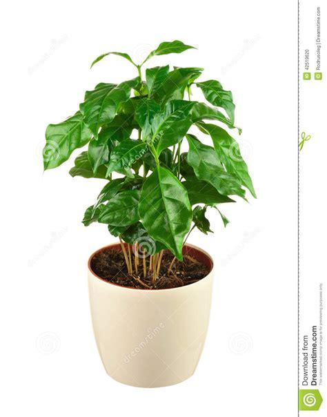 pianta di caffe in vaso pianta caff 232 pianta dell arabica in vaso di fiore