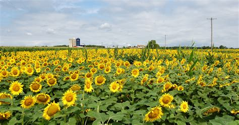 sunflower farm a field of sunflowers inspirations and explorations