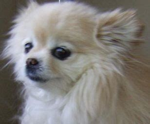 how much is a pomeranian chihuahua mix best 25 pomeranian chihuahua ideas on