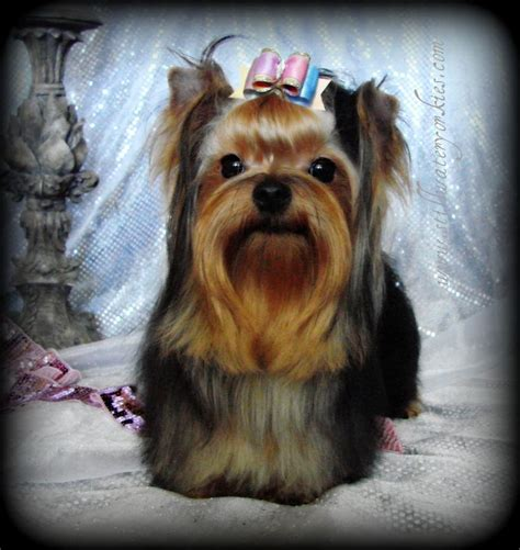 teddy bear cut for teacup yorkie apple head yorkies teddy bear yorkies yorkie breeder