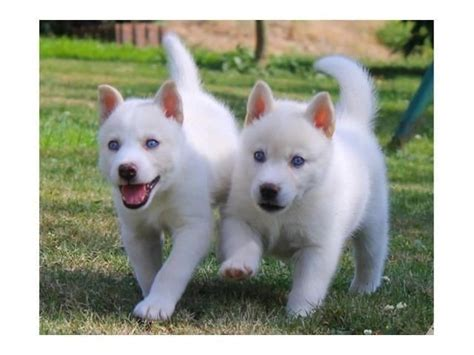 husky puppies for sale az white siberian husky puppies adorable for sale in tucson arizona classified
