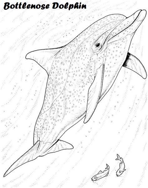 dolphin coloring book bottlenose dolphin coloring book