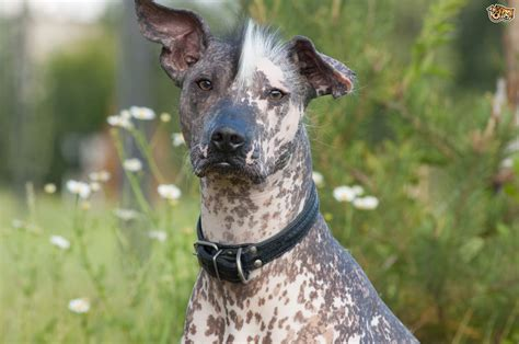 Mexican Hairless Dog Breed Information, Buying Advice