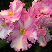violetta fiore violetta africana in casa piante appartamento