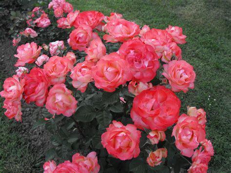 fiori simili alle arbusti il potatore