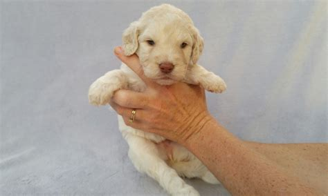 goldendoodle puppies knoxville tn doodle puppies for sale in knoxville tennessee