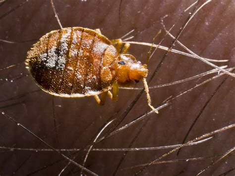 where do bed bugs come from originally where did bed bugs originate from 28 images where do
