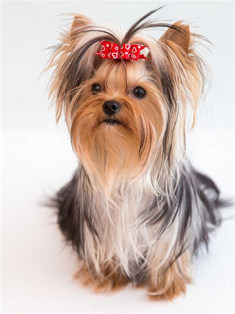 yorkies with bows yorkie puppy with bow photograph by yana reint