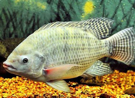 Harga Benih Ikan Nila 2018 daftar harga ikan mujair per kilo terbaru april 2018