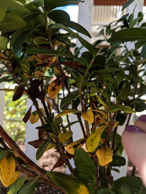 yellowing  brown spotted leaves  gardenia