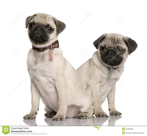 two pug puppies two pug puppies in front of white background royalty free stock photos image 12485508