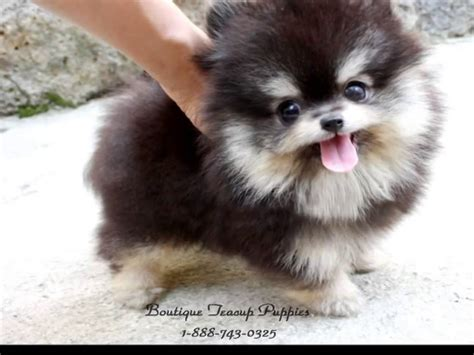 pomeranian boutique boutique teacup puppies micro teacup pomeranians tiniest pom puppies