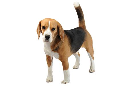 are beagles good house dogs beagle not in the dog housenot in the dog house