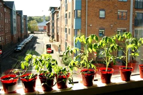 Growing Tomatoes Indoors On A Windowsill Sheffield South In Pictures