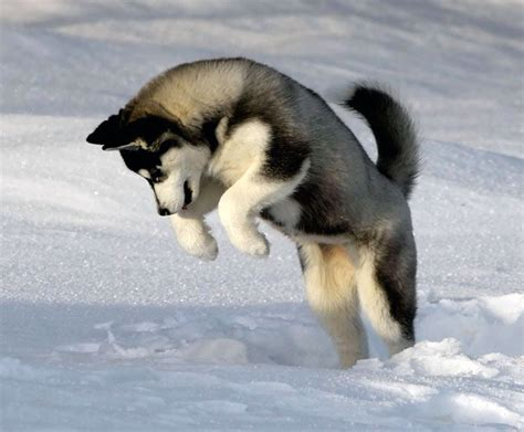 husky puppys index of wp content gallery siberian husky puppies