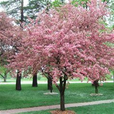 best shade tree for backyard 25 best ideas about shade trees on pinterest fast growing shade trees trees to