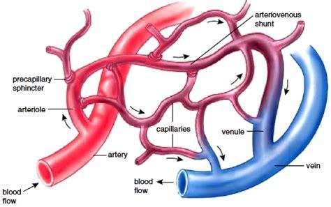 capillary diagram blood vessels anatomy of blood vessels