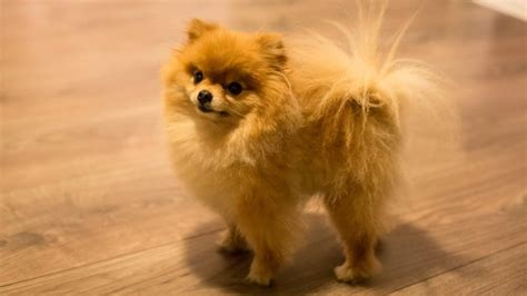 pomeranian puppies cheap where can you find cheap teacup pomeranian puppies for sale reference
