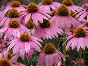 six perennials for tough conditions grimm s gardens
