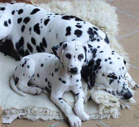 Do Dalmatians Shed by Bellbirdhill Dalmatians