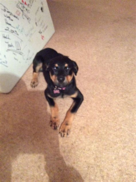 rottweiler lab mix puppies for sale rottweiler lab mix thetford norfolk pets4homes