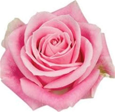 New Rosita Magenta 119 best images about flowers pink fuchsia pink on wholesale florist