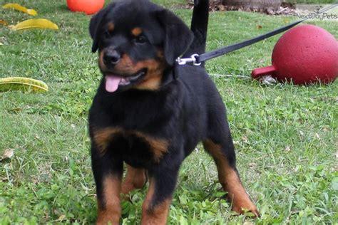 european rottweiler rottweiler puppy for sale near south florida florida 1a5e162d d371