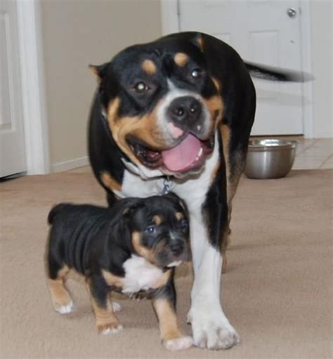 tri color pitbull puppies 384 best images about pit bulls pit bull mixes on american pit pit bull